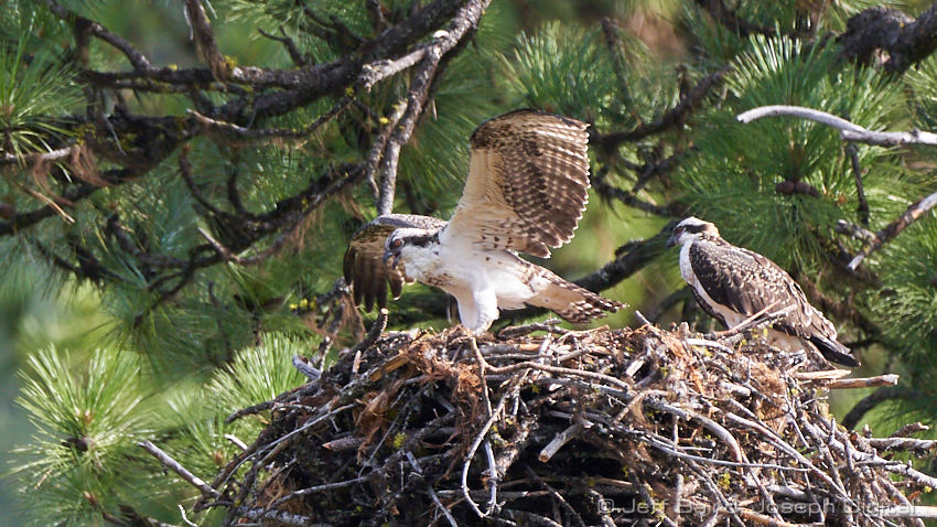 osprey chicks upper imnaha 8 18 19 02