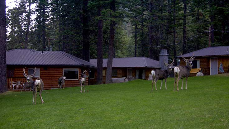 Wallowa Lake Deer
