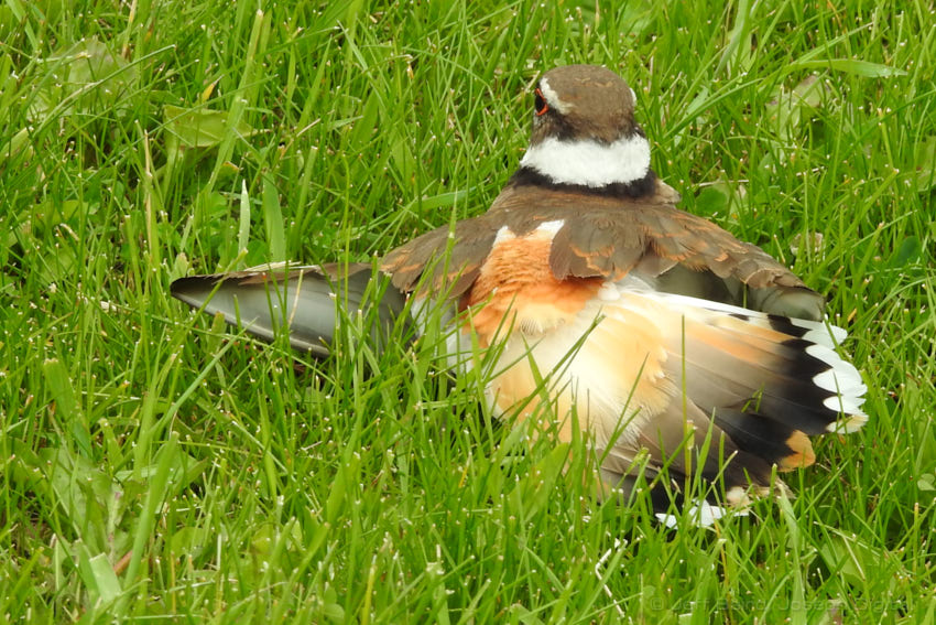 killdeer 6 12 17 01