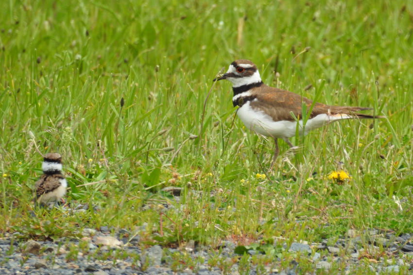 killdeer chick 6 12 17